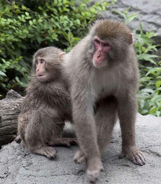 Femelle macaque et son petit. © Tony Hisgett, CC by 2.0