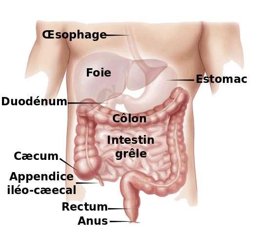 Localisation du côlon dans l'appareil digestif. © Medium 69, Wikimedia Commons