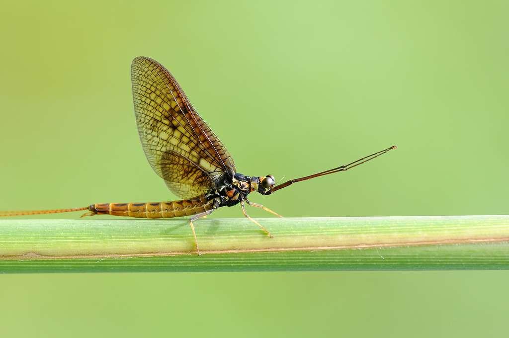 Les éphéméroptères ou éphémères, qui portent bien leur nom, sont sémelpares. Ces insectes ont un stade larvaire long et un stade adulte très court, qui leur laisse juste le temps de se reproduire. © jd.echenard, Flickr, cc by nd 2.0