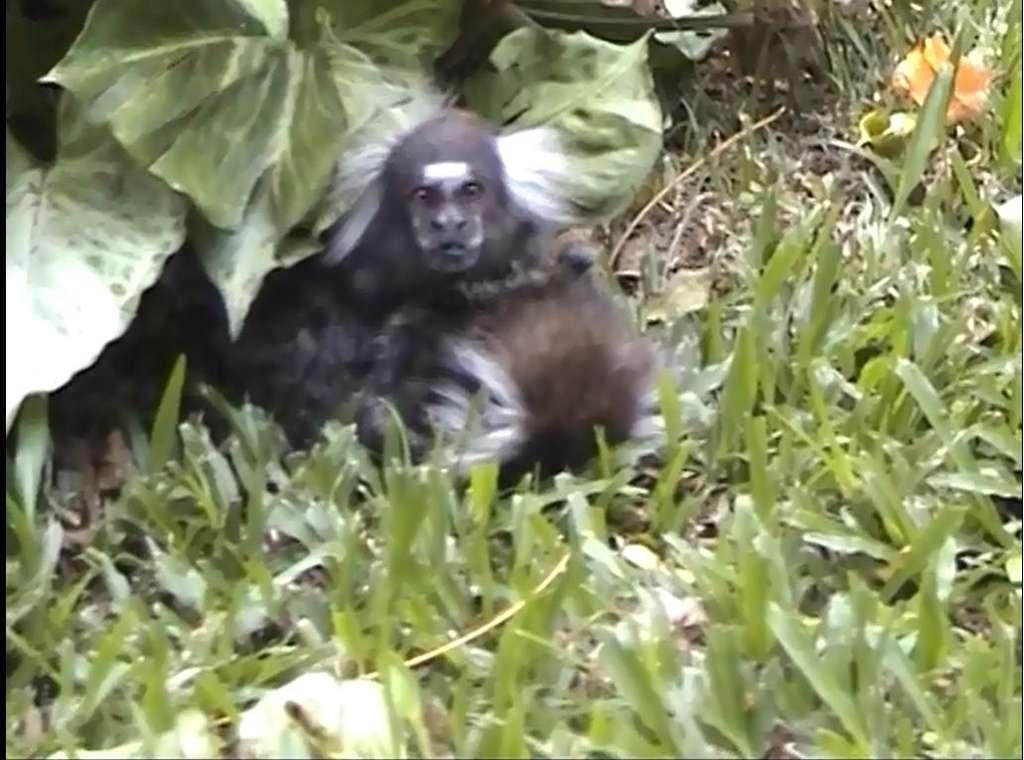 Le mâle ouistiti regarde autour de lui, incrédule, auprès de sa femelle, mortellement blessée. À ce moment, il la serre entre ses bras et venait de la renifler, des signes de compassion. © Bezerra et al., Primates