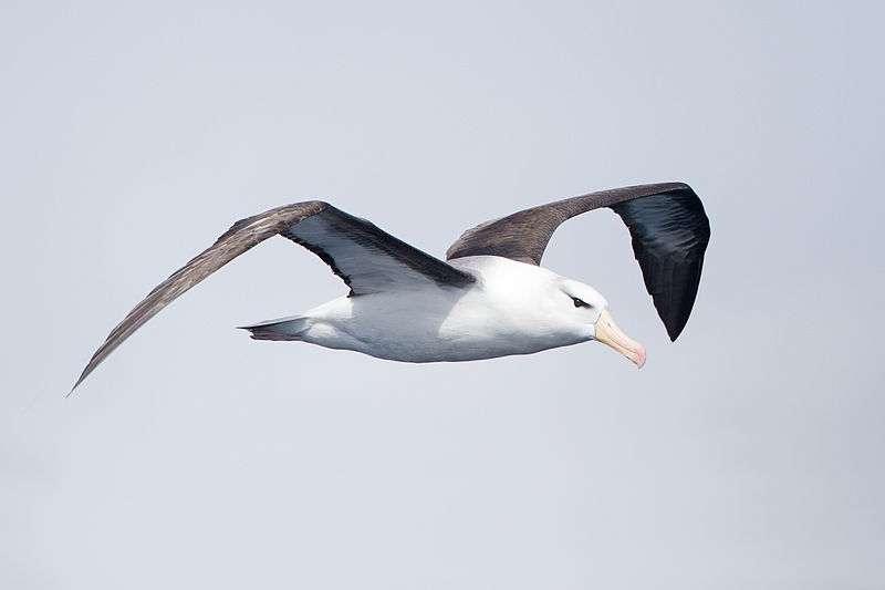 Albatros à sourcil noir en vol. © JJ Harrison, CC-by-SA 3.0