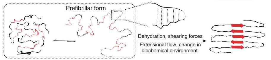 L'étude des chercheurs japonais révèle deux populations structurales majeures. En noir, les hélices polyproline de type II qui semblent être les précurseurs (prefibrillar form) des fibres de soie. Soumises à des changements dans leur environnement biochimique (dehydration = déshydratation, shearing forces = forces de cisaillement, extensional flow = flux extensionnel), elles génèrent les fibres de soie d'araignée que nous connaissons. © Nur Alia Oktaviani, RIKEN