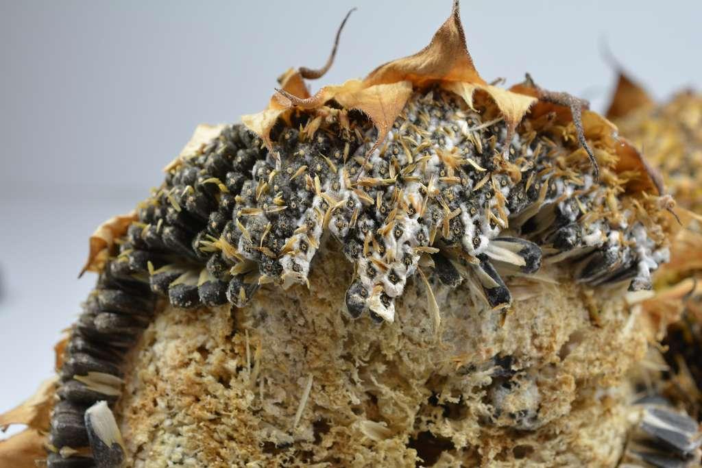 Les attaques du sclérotinia sur le tournesol peuvent provoquer des pertes de rendement atteignant les 50 %. © happyculteur, Adobe Stock