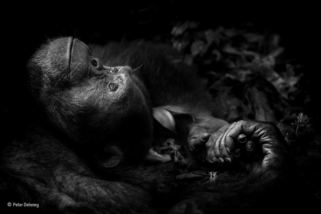 Totti, un chimpanzé qui semble mélancolique. © Peter Delaney, 2017 Wildlife Photographer of the Year