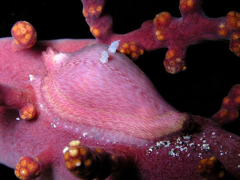 La faune sous-marine du Timor oriental et ses camouflages (Dentiovula dosruosa)