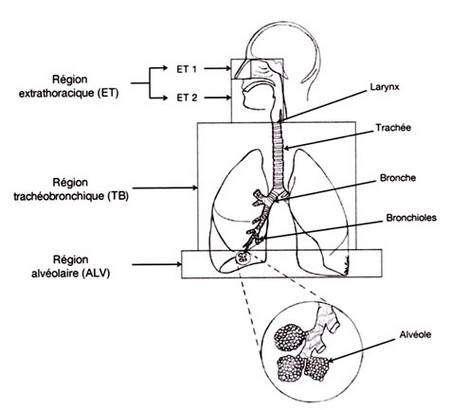 Risques de la nanotechnologie : les différentes possibilités d'entrée des nanoparticules dans le corps : les parties les plus vulnérables sont la peau, les voies respiratoires et les organes particulièrement irrigués (foie, reins…) et le cerveau pour les nanoparticules les plus petites (1 nm) pouvant franchir la barrière biologique. © Les Nanoparticules, Avis d'experts, Benoît Hervé-Bazin INRS, EDP Sciences, 2007