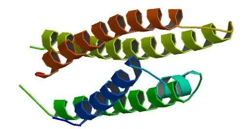 L'apolipoprotéine E, représentée ici, est synthétisée par le gène ApoE. Il en existe plusieurs versions, et l'une d'elles favorise le développement de la maladie d'Alzheimer, bien qu'on ne sache pas vraiment pourquoi... © B. Rupp, C. Peters-Libeu, Protein Data Bank, Wikipédia, DP