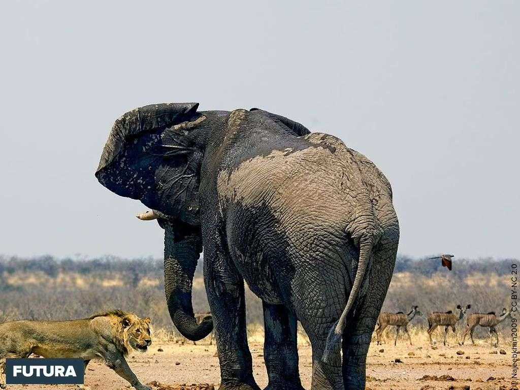 Eléphant et lionne