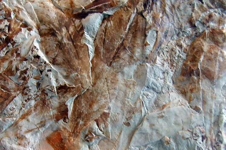 Feuilles fossilisées de Glossopteris, plantes de l'hémisphère Sud la plus commune et dominante avant la perturbation de l'écosystème à la fin du Permien. © M. Gray, Joggins site du patrimoine mondial de l'Unesco, Nouvelle-Écossede