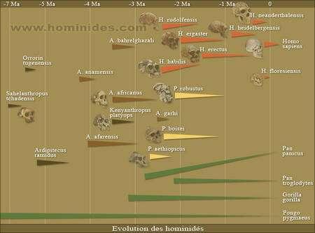Figure 1. D'après des graphiques modifiés de Pascal Picq (Les origines de l'homme et Au commencement était l'homme). Cliquer sur l'image pour l'afficher dans son contexte original. Crédit : Neekoo pour Hominides.com