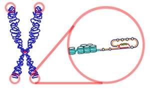 Les télomères sont représentés sur ce schéma : il s'agit de séquences génétiques situées sur les extrémités des chromosomes, faisant office de coiffe protectrice. © Samulili, Wikipédia, cc by sa 3.0