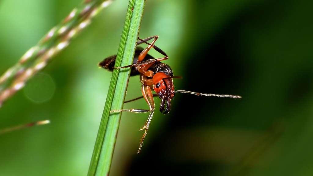 Le radeau des fourmis de feu