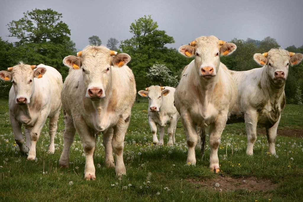 Des cheptels 100 % mâles grâce à CRISPR. © Petras Gagilas, Flickr