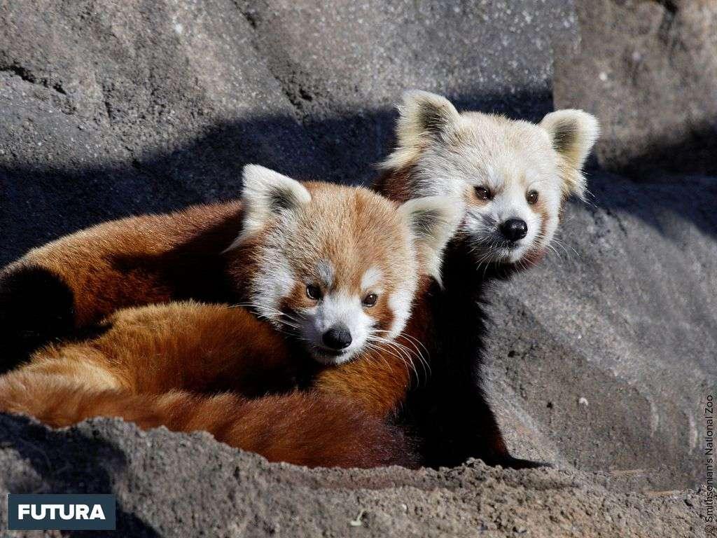 Panda roux originaire de l'Himalay il est végétarien