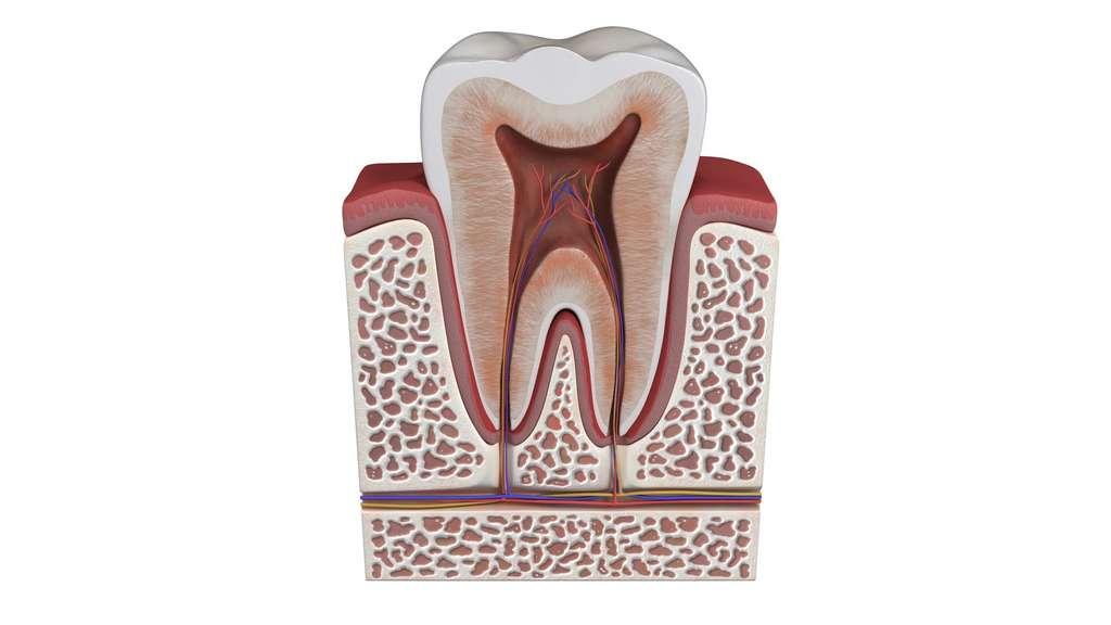 La dent est recouverte d'émail. En dessous se trouve la dentine puis au centre la pulpe. © gaetan, Fotolia
