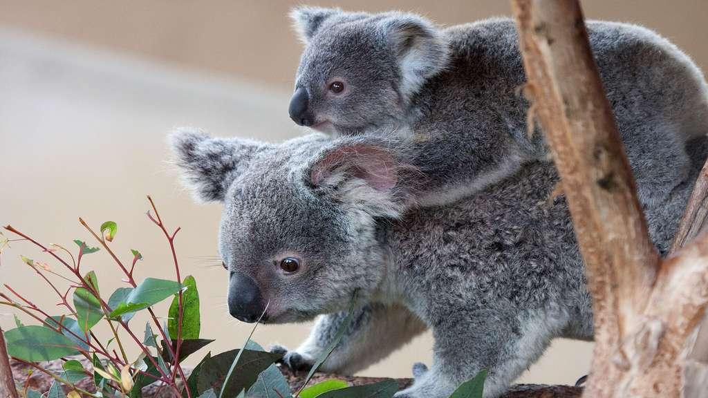 Bébé koala sur le dos de maman