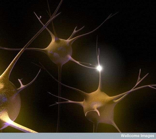 Dans la sclérose en plaques, la communication entre neurones est compromise du fait de la dégradation de la gaine de myéline, l'isolant assurant le bon transport de l'information électrique. © Emily Evans, Wellcome Images, Flickr, cc by nc nd 2.0