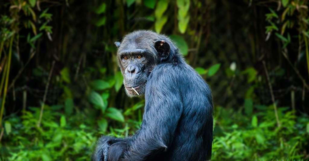 Chimpanzé. © DaFranzos, Pixabay, DP