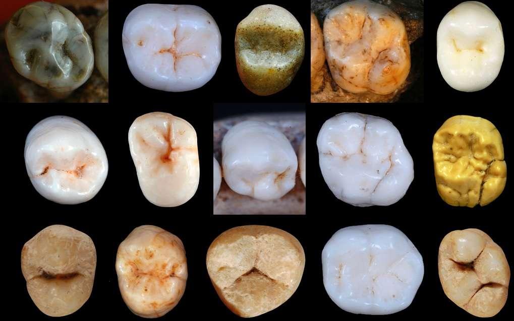 Les chercheurs ont étudié la morphologie de dents fossiles. © Dr Aida Gomez-Robles, University College London