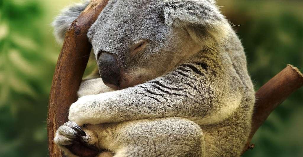 Koala endormi. © David H. Webster, CC by-nc 2.0