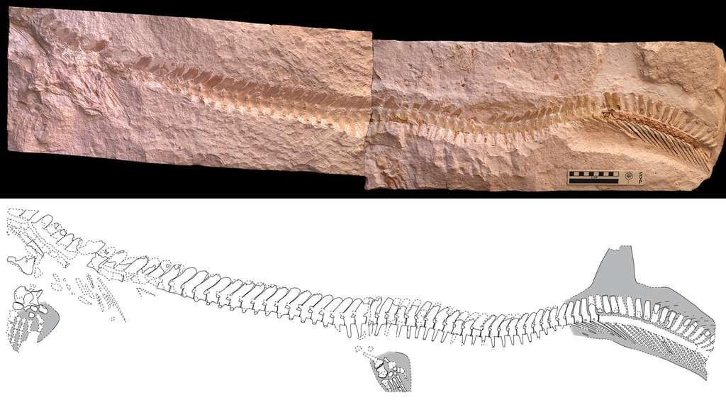 Les contours de la queue hypocerque du mosasaure jordanien (ERMNH HFV 197) sont clairement visibles sur la droite de l'image. Ils ont persisté grâce à la conservation de tissus mous (en gris sur le schéma). La représentation du bas a été dessinée par Johan Lindgren. Elle fait mieux apparaître les détails du fossile, qui se compose également de quatre membres locomoteurs transformés en palettes natatoires. © Johan Lindgren