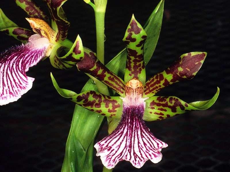 Orchidée Zygopetalum crinitum