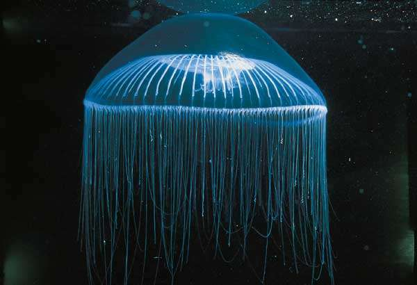 Méduse du genre Aequorea. © Toba Aquarium, Japon