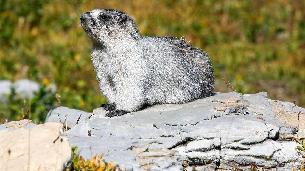 Une marmotte à ventre jaune au parc de Glacier