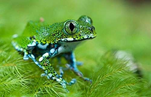 Une grenouille des arbres, Usambara peacock frog (Leptopelis vermiculatus). © Paul Bertner, tous droits réservés