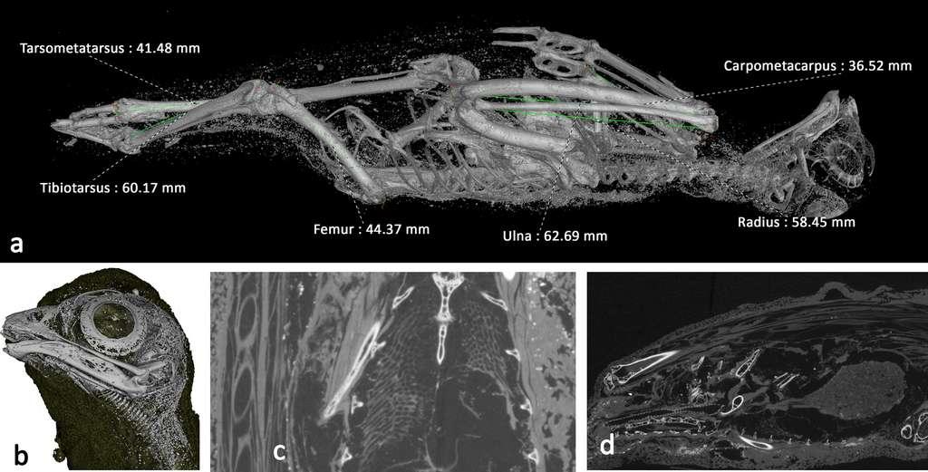 Visualisation 3D du faucon momifié. © Université de Swansea