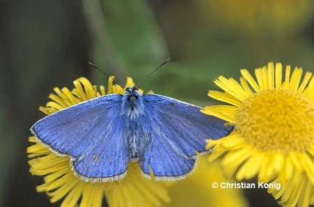 Un magnifique papillon bleu appelé Azuré de la bugrane. © Christian Konig - Tous droits réservés