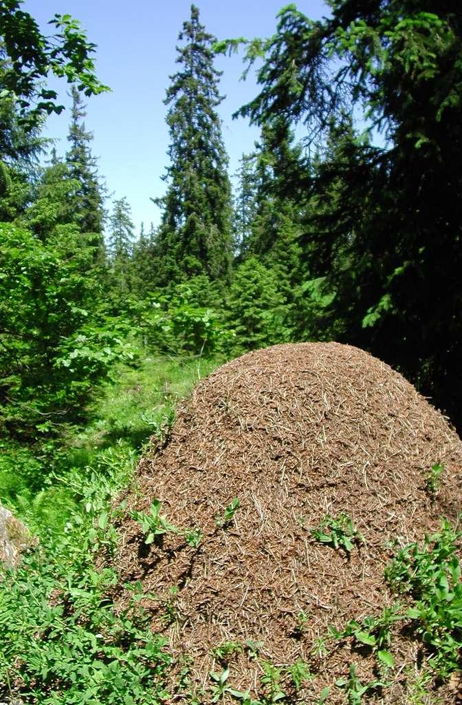 Le dôme de la fourmi rousse des bois Formica paralugubris est édifié en lisière de la forêt pour mieux capter les rayons du soleil. © A. Maeder
