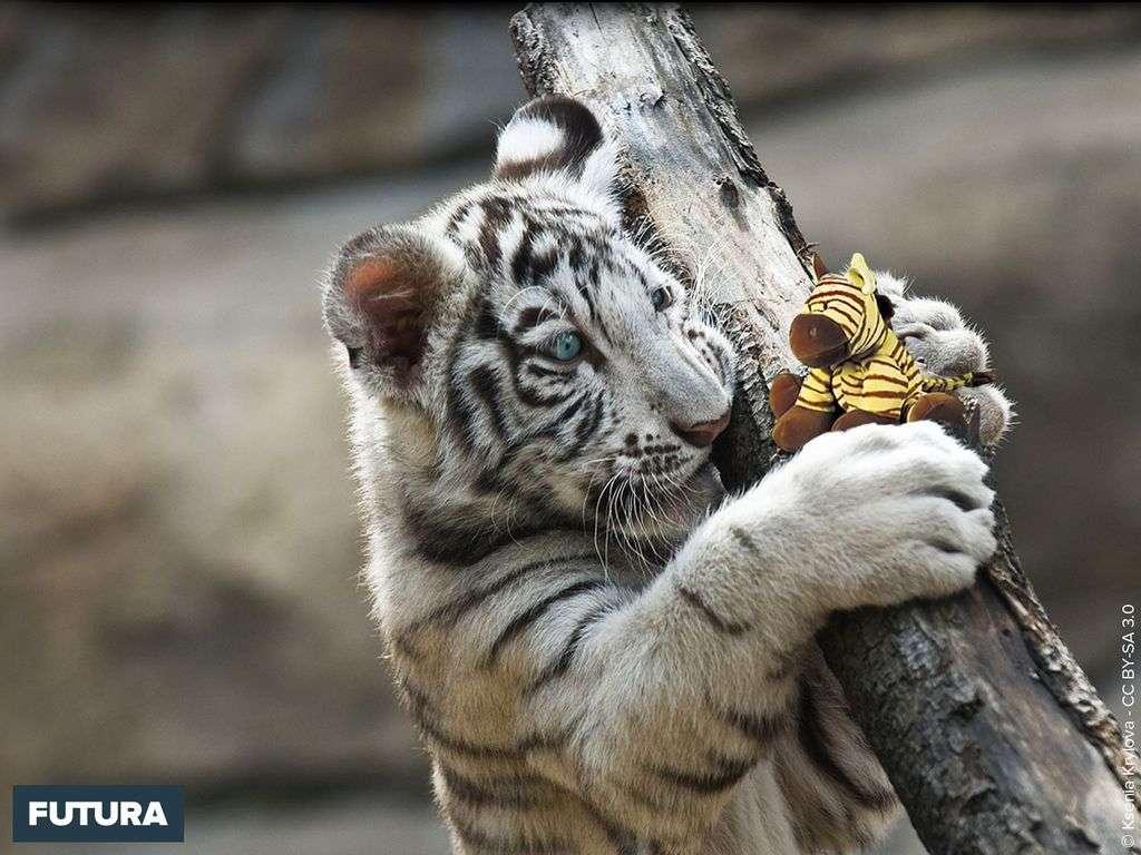 Tigre Bebe Blanc Pachinko Love