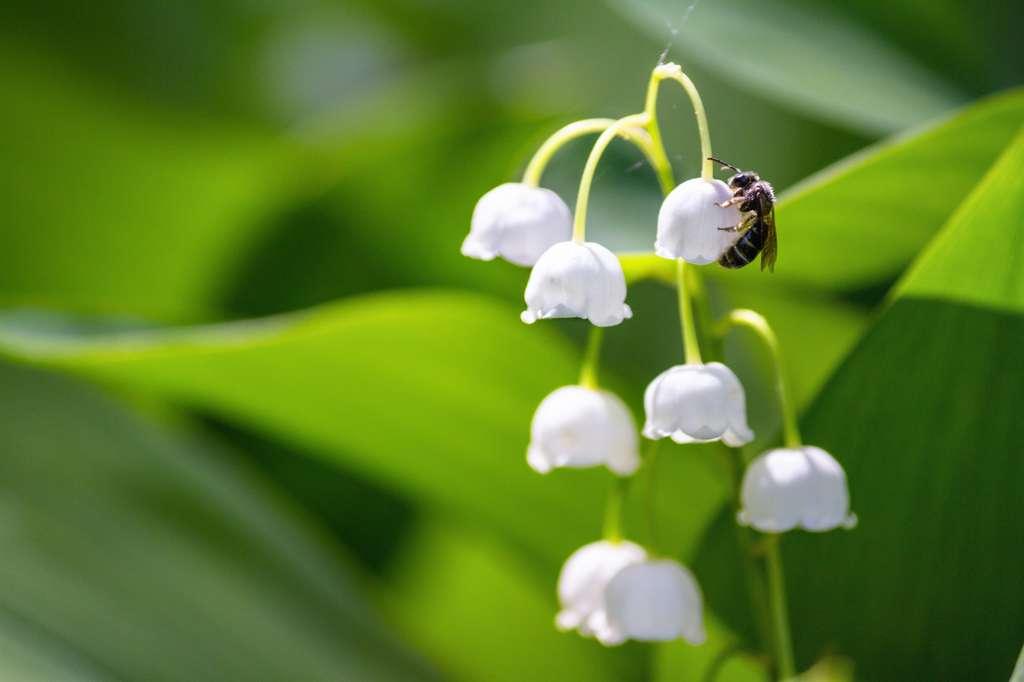 Le muguet pollinisé par une abeille au printemps ©Rustamank
