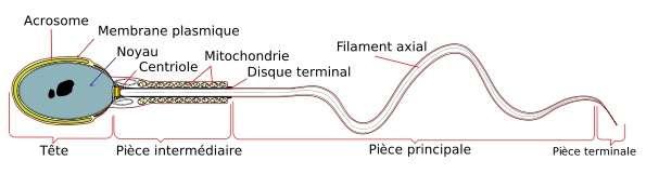 Le spermatozoïde est constitué d'une tête (à gauche), où se trouve le noyau, et d'un flagelle (à droite) qui assure la mobilité. Le récepteur sensible à la progestérone, CatSper, est situé sur le flagelle et contrôle notamment le passage du calcium. © LadyofHats, DP