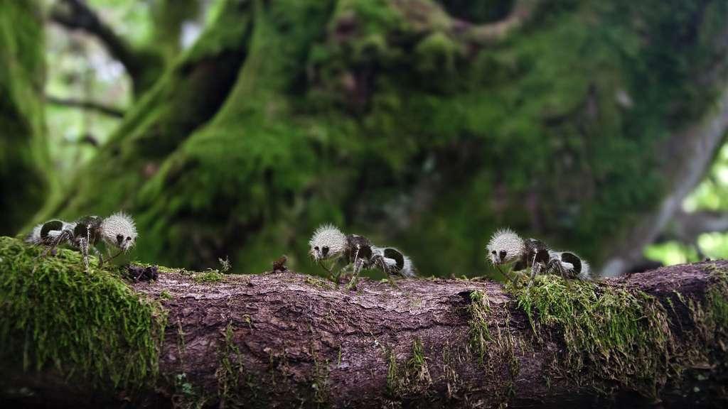 La discrète « fourmi-panda »
