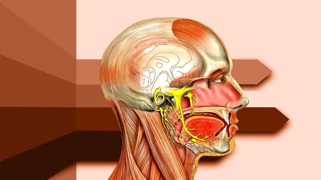Tête vue de côté avec les nerfs trijumeaux