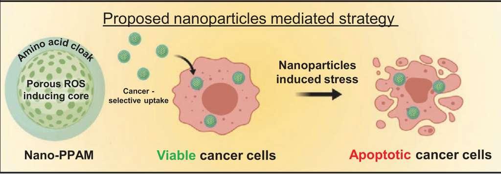 Le principe de base du fonctionnement des nanoparticules. Recouvertes d'un manteau d'acides aminés, elles sont internalisées par les cellules cancéreuses viables. Dans le cytoplasme, elles induisent un stress oxydatif qui conduit à la mort de la cellule. © Zhuoran Wu et al. Small