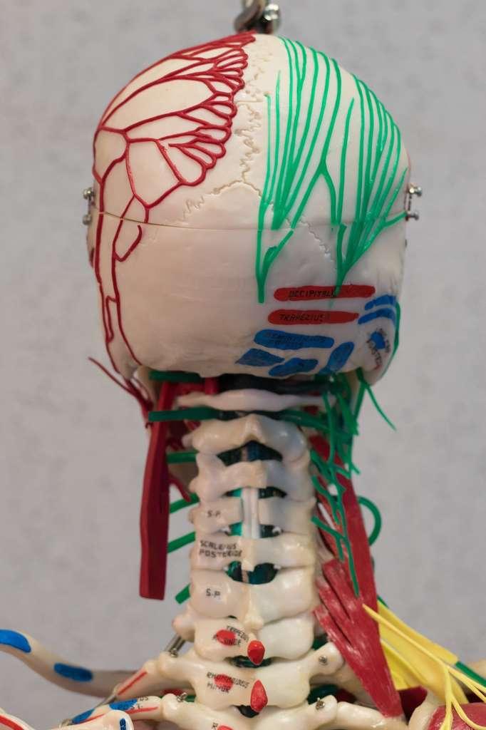 L'opération nécessite de reconnecter les vaisseaux, les nerfs, la moelle épinière, la trachée, l'œsophage... © nikchala, Fotolia