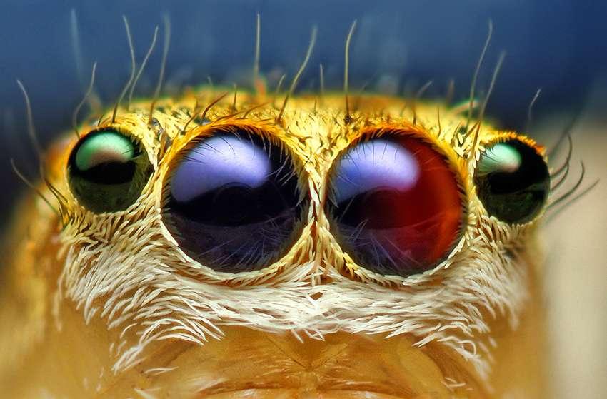 L'araignée sauteuse Maevia inclemens