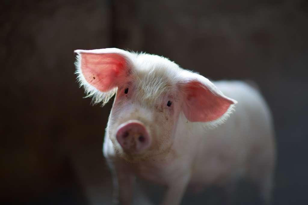 De mauvaises conditions d'élevage entraînent un comportement cannibale chez le cochon. © Julian Dutton, Unsplash
