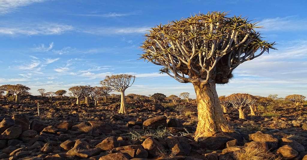 Quiver Tree Forest près de Keetmanshoop Namibie. © Bjørn Christian Tørrissen, CC BY-SA 4.0