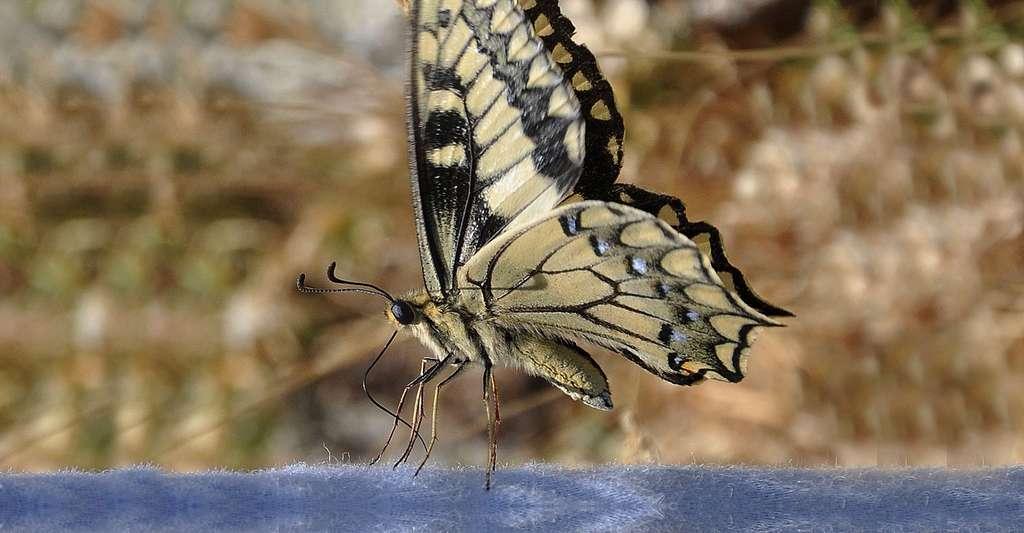 Papillon Nymphalidae. © Amada44, Wikimedia commons, CC by 3.0