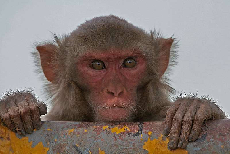 Le macaque rhésus, comme l'Homme, peut tomber malade consécutivement à une infection par MERS-CoV. Si les coronavirus peuvent se retrouver chez d'autres mammifères, comme les chauves-souris et les dromadaires, ils ne déclenchent pas pour autant chez eux des pneumonies. © JM Garg, Wikipédia, cc by sa 3.0