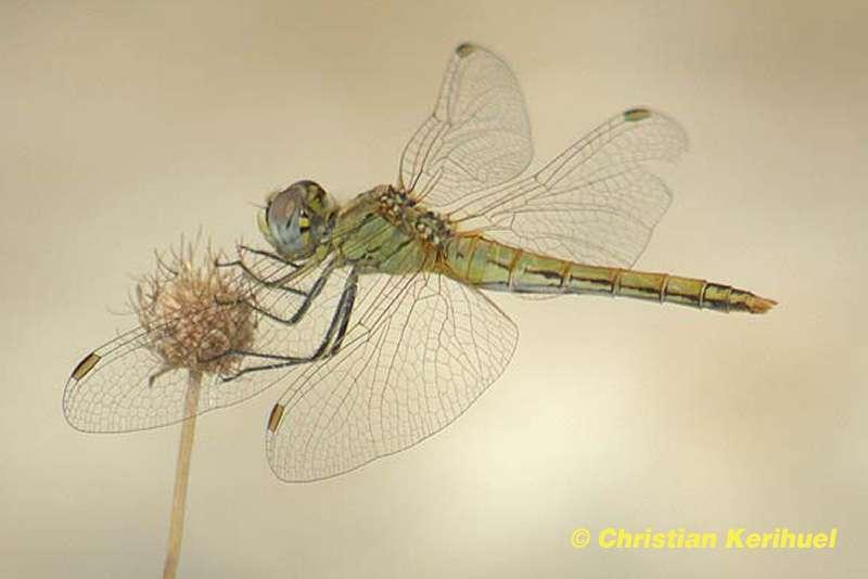 Identifier une libellule
