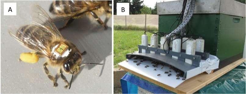 La technologie RFID est utilisée pour caractériser les mouvements effectués par une abeille entre sa ruche d'origine et le milieu extérieur. Ce système se compose d'une micropuce de 3 mg collée sur l'insecte (A) et de détecteurs placés à l'entrée de la colonie (B). © Henry et al. 2012, Science Express