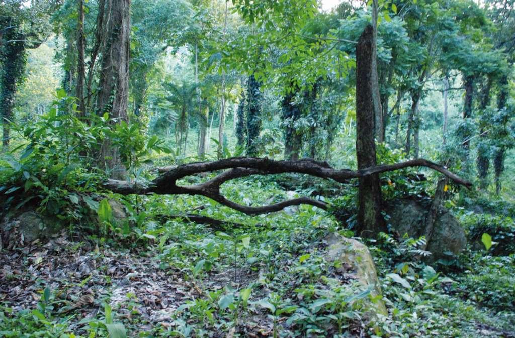 Le cacaoyer est un arbre plutôt petit. Quels sont ses fruits et les différentes variétés ? Ici, grande forêt équatoriale d'Amérique du Sud. © C. Lanaud