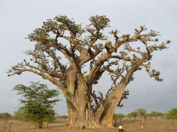 Ce gigantesque baobab de brousse près de Nianing qui possède de très puissantes branches a également retenu notre attention lors de la mission Darabao. © Sébastien Garnaud