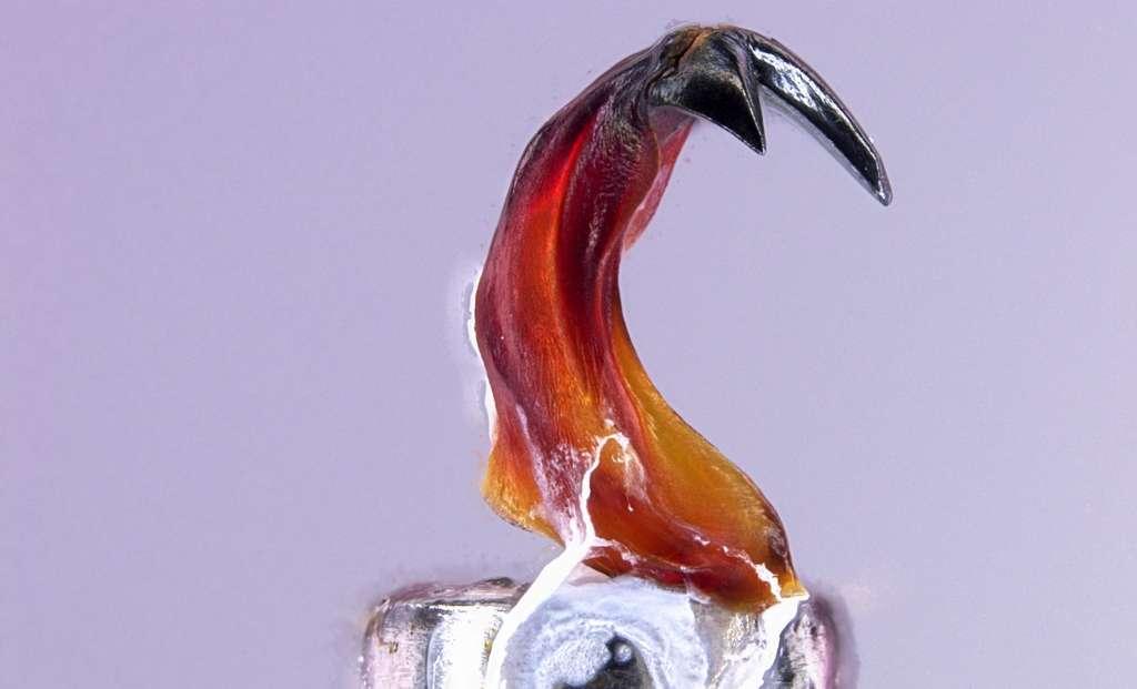 Une dent de chiton avec ses cuspides en magnétite. © David Kisailus, université de Californie