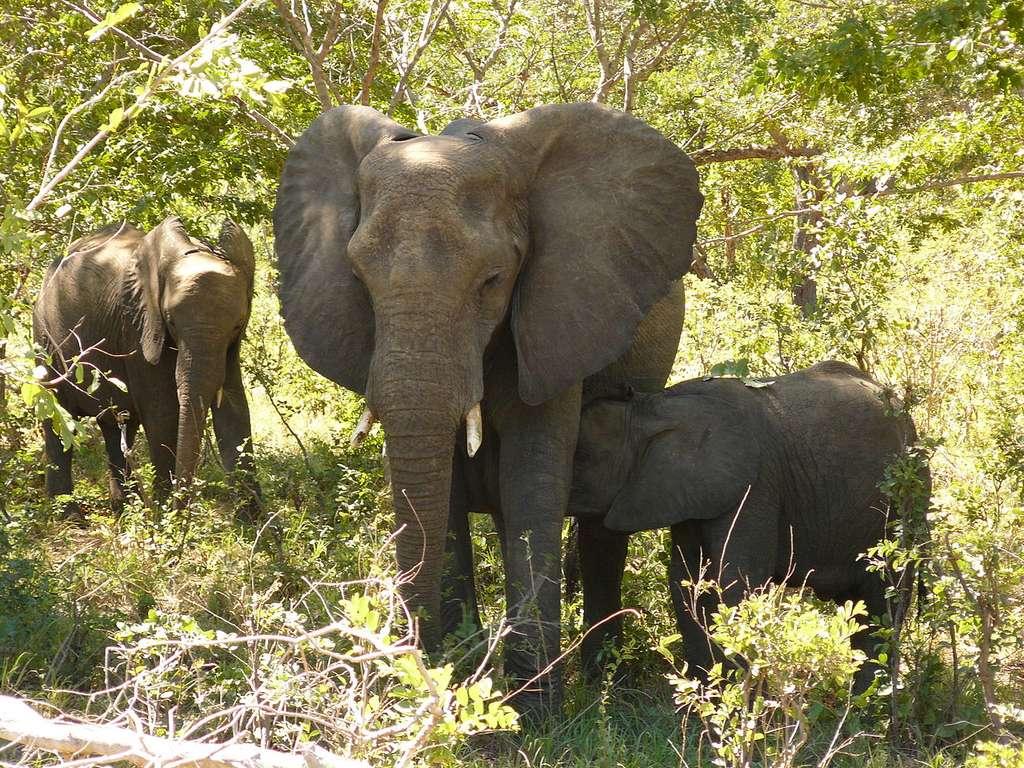 Les jeunes éléphants émettent des sons particuliers pour signifier qu'ils veulent téter ou pour protester ; ces sons spécifiques d'une classe d'âge aident aussi à estimer l'âge de l'individu. © Gorgo, Wikimedia Commons, DP
